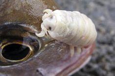 Cymothoa exigua é um animal marinho que mede entre 3 e 4 cm.Trata-se de um crustáceo parasita