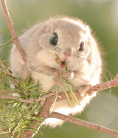 Ezo Momonga // Native to Hokkaidō, this adorable type of flying squirrel is beloved for its huge eyes, round shape, and itty-bitty paws that eagerly grasp at pine needles to nibble on.