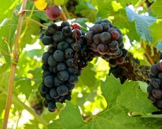 Zinfandel, Lizzy James Vineyard (planted 1904), Lodi AVA. Photography by Randy Caparoso. #Lodi #wine #grapes #HarneyLaneWinery