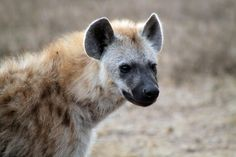 Hyena, South Africa, One of the most feared  animals because they hunt in large groups and have tremendously strong bite.