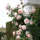 Help with rose selection - David Austin Roses