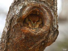 Admirez le camouflage époustouflant de ces hiboux qui ne manquent pas de ressources pour se rendre invisibles