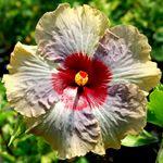 Exotic Hibiscus 'Queen Victoria'