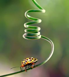 End of a long journey (yellow ladybug on tendril)  by Fabianus Hendrawan