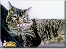 Read KitKat the Maine Coon's story from Cedar Rapids, Iowa and see her photos at Cat of the Day http://CatoftheDay.com/archive/2012/January/10.html .