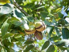 Learn how to grow pecan trees. Planting and growing pecan trees is easy but it requires lot of space as the tree grows tall and wide.