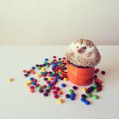 Meet Darcy: The Cutest Little Hedgehog in the World - My Modern Metropolis