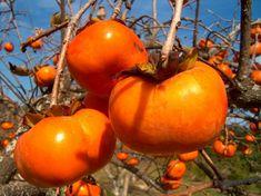 Kaki or Persimmon - autumn fruits Exotic Food, Exotic Fruit, Tropical Fruits, Persimmon Fruit Tree, Orange Fruit, Bonsai Seeds, Tree Seeds, Garden Seeds, Planting Seeds
