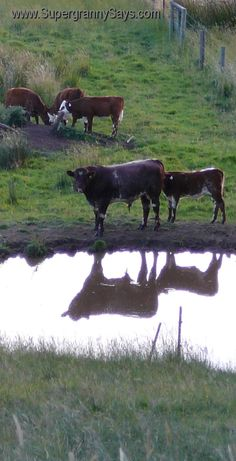 Down on the Farm...Cow reflections in the waterhole.  #farm  #cows  ..  Exciting NEW Social Network...FREE to join...Make money & Save Money. Join for free today..  https://lifeonit.com/?invite=1027009