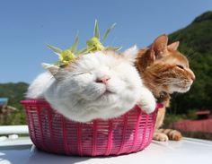 のせ猫 苧環 |のせ猫オフィシャルブログ Powered by Ameba