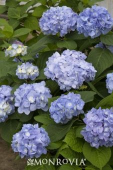 Monrovia's Mini Penny™ Hydrangea details and information. Learn more about Monrovia plants and best practices for best possible…