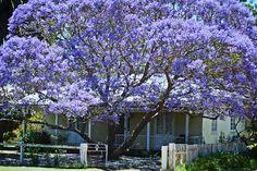 Australian country style home with Jacaranda tree