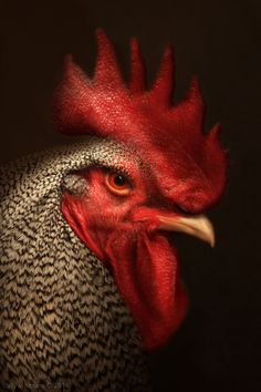 Poultry 3 by Cally Whitham