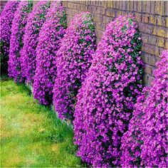 10 Wisteria Seeds , Superb perennial ground cover , flower seeds for home garden - Seeds Perennial Ground Cover, Creeping Thyme, Blue Plants, Bonsai Seeds, Bonsai Plants, Blooming Plants, Flowers Perennials, Garden Seeds, Front Yard Landscaping