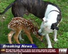 Breaking News - Pit bull licks baby deer on head, local news agencies outraged that they don't have sensational story to blow out of proportion