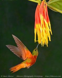 This beautifully colored bird, a Chestnut-Bellied Hummingbird (Amazilia castaneiventris) is found in… Pretty Birds, Love Birds, Beautiful Birds, Birds 2, Polo Sul, Polo Norte, Hummingbird Moth, Equador, Kinds Of Birds