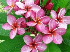 """The plumeria """"Star Ruby"""". Multiple tips, semi-compact with exquisite veining. A sturdy plumeria with thick branching."""