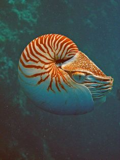 "Chambered Nautilus in action; buoyancy level is controlled by the many chambers within their shell. Nautilus is often referred to as a ""living fossil."""