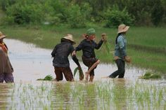 Working in the ricefields, Ankor Wat, Cambodia