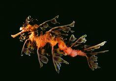 Sea Dragon :)