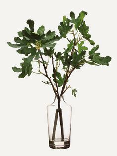 Fig Branch in Glass Vase Green