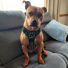 """Just love this harness, so thought I'd send you a photo of my beautiful girl """"dressed"""" and ready to go walkies, this is Holly. Thanks for a wonderful product. Ready To Go, Dog Harness, Dog Days, Just Love, Your Dog, Pitbulls, Adventure, Dogs, Animals"""