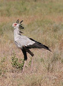 Secretary Bird (Sagittarius serpentarius), picture taken at Serengeti Nationalpark, Tanzania Sagittarius Serpentarius, National Animal, Most Beautiful Birds, Birds Of Prey, Fauna, Bird Species, Love Birds, Predator, Pet Birds