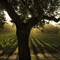 Vineyard.  Kevin Cruff (photo)