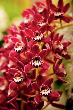 Red Cymbidium Orchid! - wedding ceremony