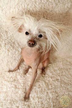 Gilligan - a Hairless Chinese Crested www.baldisbeautifuldogrescue.org