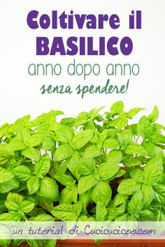 Basil is one of the most beloved herbs and is even better when fresh picked. Learn how to grow basil year after year for FREE with the help of an easy trick!