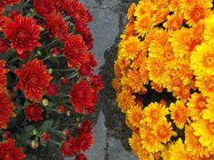 Chrysanthemun. Viveros González. Marbella