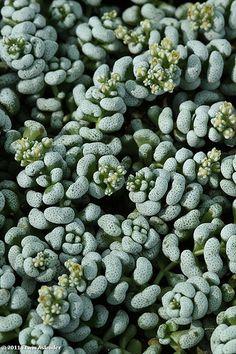 Crassula corallina [Family: Crassulaceae]