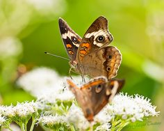 What's Your Name? | Flickr - Photo Sharing! Butterflies on Boneset