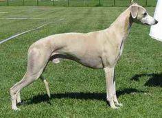 Old Croatian Sight Hound | sighthound_Sighthound220 _Sighthound - Wikipedia220 _of) sighthound ...