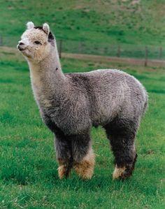 Alpaca with leg warmers