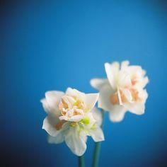 wild daffodils | Flickr - Photo Sharing!