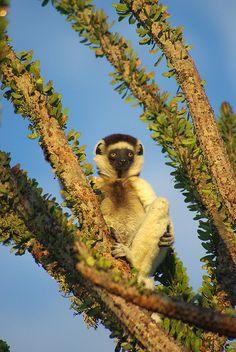 Sifaka, Berenty, Madagascar