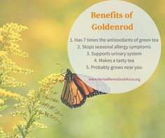 Goldenrod tea is tasty and full of antioxidants, the infused oil is great for painful joints the tincture can help stop a hay fever reaction. Holistic Remedies, Cold Remedies, Herbal Remedies, Natural Remedies, Healing Herbs, Medicinal Plants, Natural Healing, Natural Medicine, Herbal Medicine