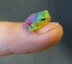 Have a tiny rainbow frog. Have a tiny rainbow frog. Have a tiny rainbow frog. Cute Funny Animals, Cute Baby Animals, Wild Animals, Tier Wolf, Pet Frogs, Frog Pictures, Frog Pics, Frog Tattoos, Cute Reptiles