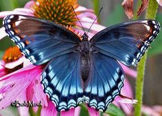 Red-spotted Purple or White Admiral  Limenitis arthemis..one of these landed on my truck door right next to me one day, I got lots of photos