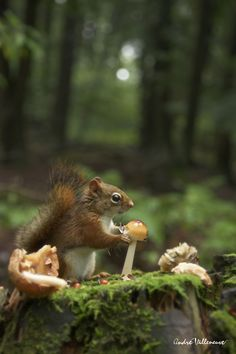Mushroom for breakfast? Red squirrel in the mossy woods.