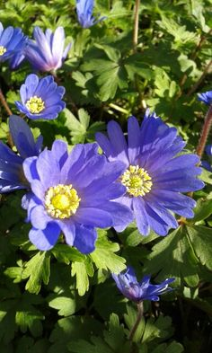 Anemone in May