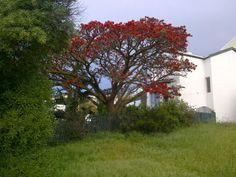 Coral tree in local park