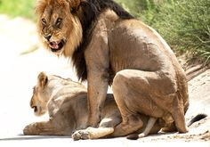 Lion Mating & Hunting Documentary 2014