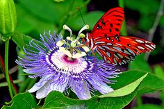Gulf Fritillary on Passion Flower / photo by Dominick Martino
