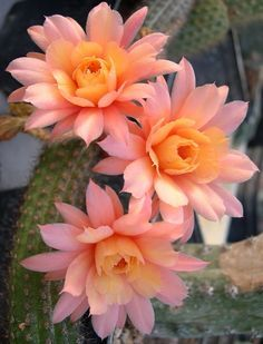 - Cactus - Borzicactus aureispinus x echinopsis Cactus . Andes aureispinus x echinopsis cactus More. Desert Flowers, Desert Plants, Exotic Flowers, Amazing Flowers, Beautiful Flowers, Cactus With Flowers, Purple Flowers, Cactus Blossoms, Potted Flowers
