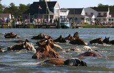 Wild Ponies Of Assateague Make Annual Swim To Chincoteague Island, This Wednesday!