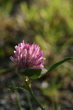 Raudkløver, rødkløver - Trifolium pratense - Naturfakta