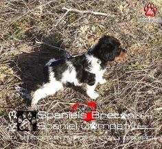 Breton Spaniels tricolor  Tiana de Abel.K-3 www.spanielcompany.es